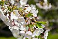 Cherry blossoms and buds - 2013-04-09 (9985572236).jpg