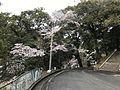 Cherry blossoms in Kameyama Park 5.jpg