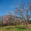 Cherry tree with blossoms in Torp.jpg