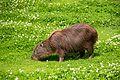 Chester Zoo 2016 029 - Capybara.jpg