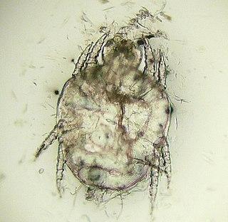 <i>Cheyletiella</i> Genus of mites