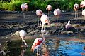 Chilean flamingo 0177.JPG