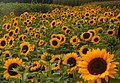 Chilliwack Sunflower Festival 3.jpg