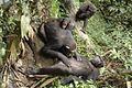 Chimpanzee grooming - épouillage entre chimpanzées.jpg