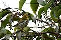 Chipe Negroamarillo, Townsend's Warbler, Dendroica townsendi (10549407635).jpg