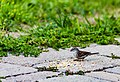 Chipping Sparrow (43822780841).jpg