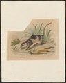 Chironectes variegatus - 1700-1880 - Print - Iconographia Zoologica - Special Collections University of Amsterdam - UBA01 IZ20300140.tif