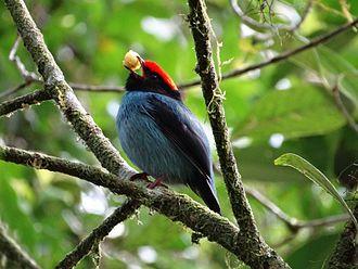 Blue manakin - Blue manakin feeding.