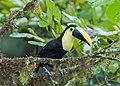 Choco toucan.jpg