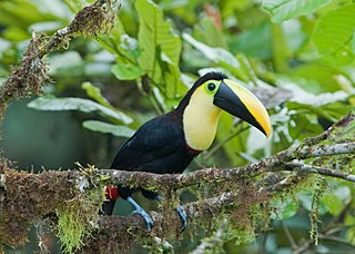 <i>Ramphastos</i> genus of birds