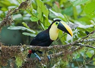 Ramphastos - Image: Choco toucan