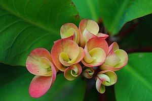 Euphorbia milii - Image: Christ thorn flowers just opening