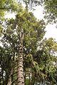 Christchurch Botanic Gardens, New Zealand section, kauri tree, 2016-02-04.jpg