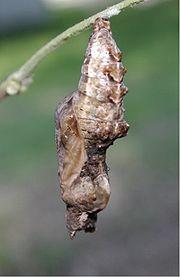 Chrysalis of Gulf Fritillary