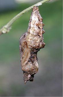 Stadio di crisalide di un lepidottero