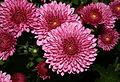 Chrysanthemum (0883)-Relic38.jpg