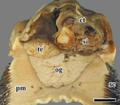 Chrysomallon squamiferum 10.png