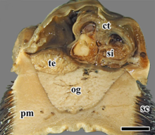A cross section with dark scales on its sides, a large foot in light color, a large oesophageal gland of light color inside the body. Other parts of the body are light brown.