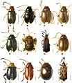 Chrysomelidae (10.3897-zookeys.825.30455) Figure 6.jpg