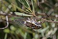 Cicada orni-Cigale-Ailes-20130626.jpg