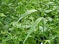 Cinna latifolia (6081577824).jpg
