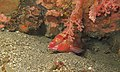 Cinnabar Goatfish (Parupeneus heptacanthus) (6080401236).jpg