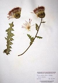 Cirsium pumilum ssp. pumilum BW-1979-0806-9933.jpg
