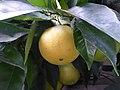 Citrus sinensis Lucca 04.jpg