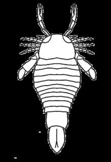<i>Ciurcopterus</i>