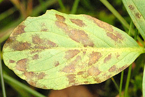 Blastocladiomycota - Plant leaf with Physoderma menyanthis (former Cladochytrium menyanthis) signs