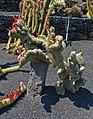 Cleistocactus hyalacanthus f. cristata 01.JPG