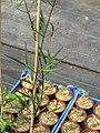Clematis Aus sp - Flickr - peganum (1).jpg