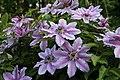 Clematis in spring.jpg