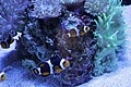 Clown Fish (7542052482).jpg
