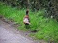 Cock pheasant at Blackstown Road - geograph.org.uk - 759077.jpg