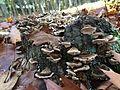 Cogumelos do Geres (23174970192).jpg