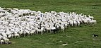 Cologne Germany Flock-of-sheep-01.jpg