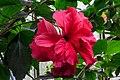 Cologne Germany Flora-Köln-Hibiscus-rosa-sinensis-01.jpg