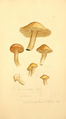 Coloured Figures of English Fungi or Mushrooms - t. 141.png