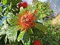 Combretum constrictum - Powderpuff Combretum 2014 (7).jpg