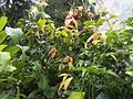 Combretum indicum NP-06.jpg
