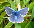 Common Blue. Polyommatus icarus - Flickr - gailhampshire (7).jpg