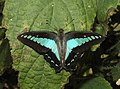 Common Bluebottle Graphium sarpedon UP by Dr. Raju Kasambe DSCN1849 (10).jpg