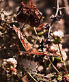 Common Buckeye Butterfly (10802582484).jpg