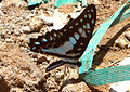 Common Jay (Graphium doson) at Madhurawada 01.jpg
