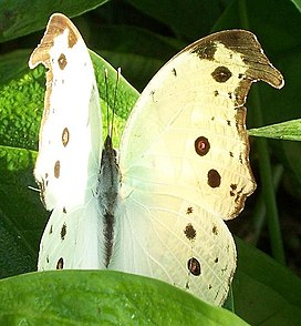Common Mother-of-pearl Umdoni 14 06 2010 1.JPG