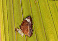 Common Palmfly just hatched - the white pupa is empty (5059913492).jpg