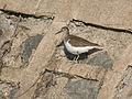 Common Sandpiper- Puri I IMG 9175.jpg