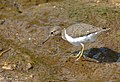 Common Sandpiper (Actitis hypoleucos) (13781911244).jpg