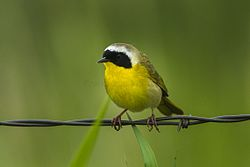 Common Yellowthroat - Malheyr NWR - Oregon S4E9693 (19039910670).jpg